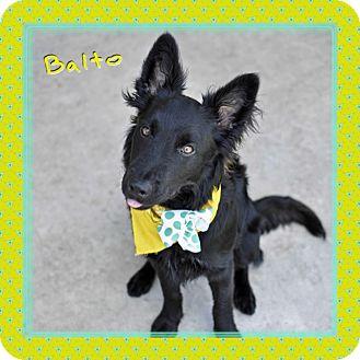 Border Collie Mix Dog for adoption in Corpus Christi, Texas - Balto