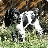 Adopt A Pet :: SPARKY - Tacoma, WA