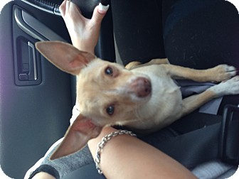 Chihuahua Mix Puppy for adoption in El Segundo, California - Chili