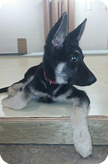 German Shepherd Dog Puppy for adoption in Mill Creek, Washington - Merlin