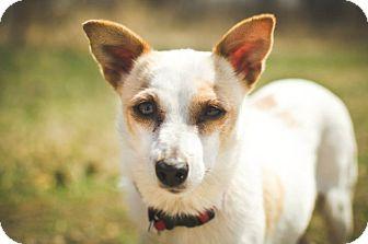 Chihuahua Mix Dog for adoption in Saskatoon, Saskatchewan - Peek-A-Boo