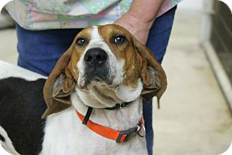 Coonhound/Treeing Walker Coonhound Mix Dog for adoption in Chicago, Illinois - Benji(Adopted!)