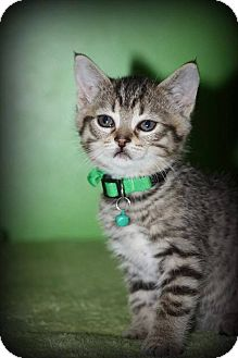 Domestic Shorthair Kitten for adoption in Woodstock, Ontario - Jitter