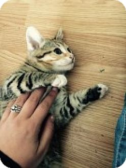 Domestic Shorthair Kitten for adoption in McHenry, Illinois - Aurora