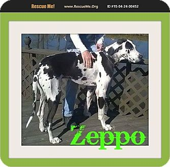 Great Dane Dog for adoption in bullard, Texas - Zeppo