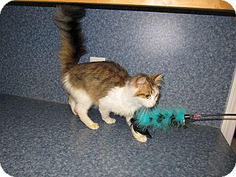Domestic Longhair Cat for adoption in Harrisburg, North Carolina - Katie