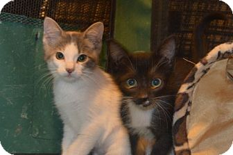Domestic Shorthair Kitten for adoption in San Marcos, Texas - Poppy and Bo