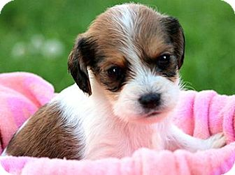 """Dachshund/Beagle Mix Puppy for adoption in Winchester, Kentucky - TICKLES(OUR """"DOXLE"""" TINY PUPPY"""