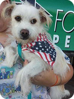 Westie, West Highland White Terrier/Terrier (Unknown Type, Small) Mix Dog for adoption in Van Nuys, California - *URGENT* Einstein