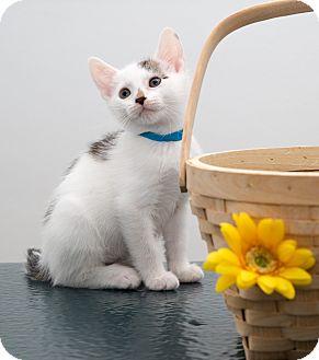 American Shorthair Kitten for adoption in Brooklyn, New York - Glenwood