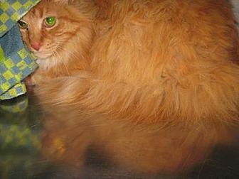 Domestic Shorthair Cat for adoption in Roseville, California - Cinco