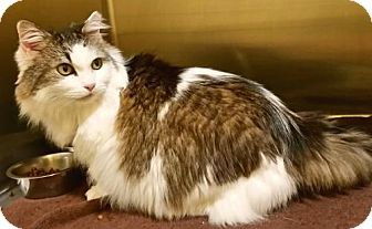 Maine Coon Cat for adoption in Buford, Georgia - Gracey