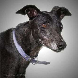 Greyhound Dog for adoption in Woodinville, Washington - Mike