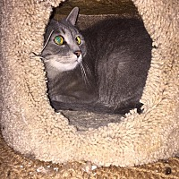 Domestic Shorthair Cat for adoption in Columbia, Maryland - Tabitha