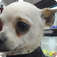 Adopt A Pet :: Chas - Chesterfield, MO