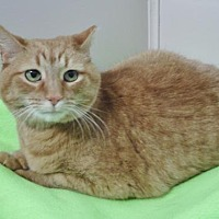 Adopt A Pet :: Ginger Cookie - Howell, MI