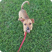 Chihuahua Mix Dog for adoption in Phoenix, Arizona - FORD