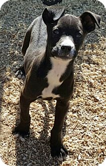 Labrador Retriever Mix Puppy for adoption in Twinsburg, Ohio - Marcee