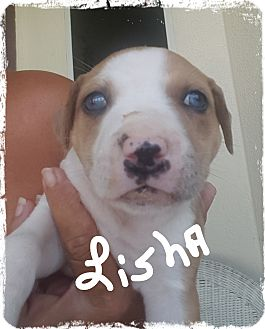 Catahoula Leopard Dog/Boxer Mix Puppy for adoption in Palm Bay, Florida - Lisha ready 7/13/17