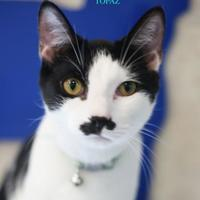 Domestic Shorthair/Domestic Shorthair Mix Cat for adoption in Boone, North Carolina - Topaz