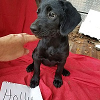 Adopt A Pet :: Holly - SOUTHINGTON, CT