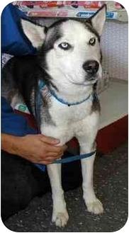 Husky Dog for adoption in Northridge, California - Shadow