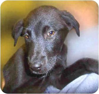 Labrador Retriever Mix Puppy for adoption in San Clemente, California - ANDY