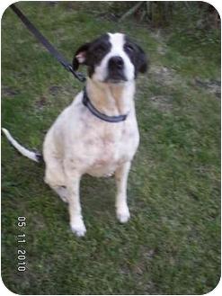 Pointer Mix Dog for adoption in Graham, Washington - Honey