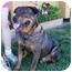Photo 2 - Rottweiler/German Shepherd Dog Mix Dog for adoption in Berkeley, California - Rufus