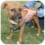 Photo 3 - Boxer/Pit Bull Terrier Mix Puppy for adoption in kennebunkport, Maine - Sunny-ADOPTED!