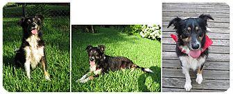Border Collie/Australian Shepherd Mix Dog for adoption in Haughton, Louisiana - Bernese