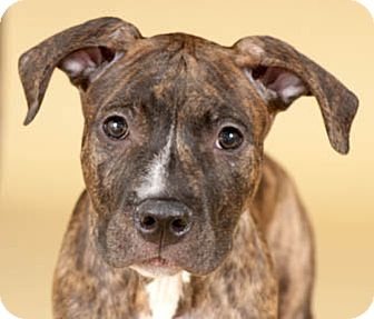American Pit Bull Terrier Mix Puppy for adoption in Chicago, Illinois - Brutus