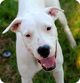 Dogo Argentino/American Bulldog Mix Dog for adoption in Phoenix, Arizona - Bellina