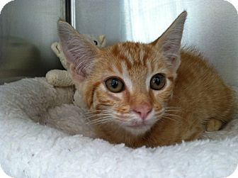 Domestic Shorthair Kitten for adoption in Mission Viejo, California - Bandito