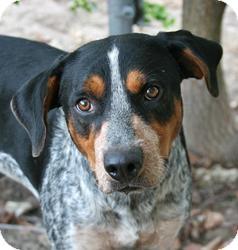 Blue Heeler Mix Dog for adoption in Lufkin, Texas - Gryphon