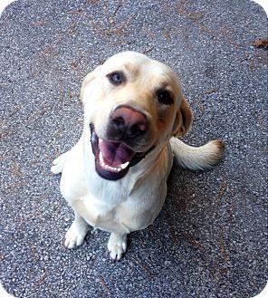 Labrador Retriever Mix Dog for adoption in Muskegon, Michigan - Luke