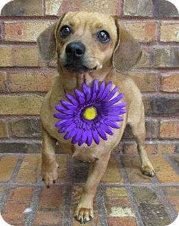 Dachshund/Pug Mix Dog for adoption in Benbrook, Texas - Nevaeh