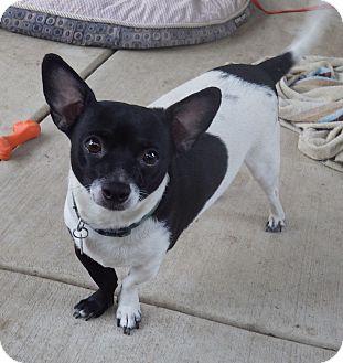 Rat Terrier/Corgi Mix Dog for adoption in Quail Valley, California - Radar