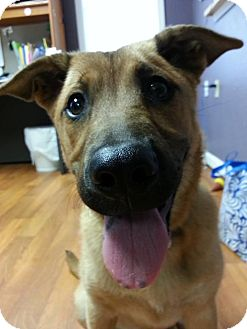 Belgian Malinois Mix Dog for adoption in Lisbon, Ohio - Jillian ADOPTED!