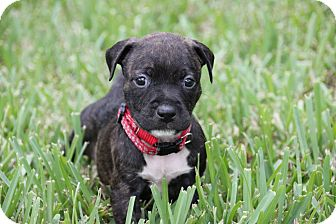 American Bulldog/Pit Bull Terrier Mix Puppy for adoption in Ft. Myers, Florida - Baxter
