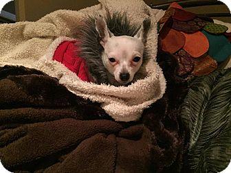 Chihuahua Mix Dog for adoption in Calgary, Alberta - FALCO