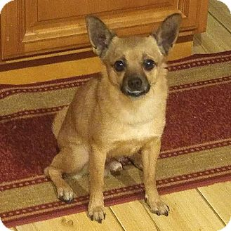 Chihuahua/Brussels Griffon Mix Dog for adoption in Woodinville, Washington - Teddy