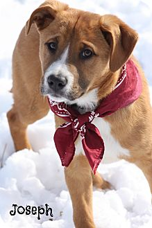 Labrador Retriever/German Shepherd Dog Mix Puppy for adoption in Brattleboro, Vermont - Joseph