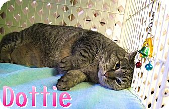 Domestic Shorthair Cat for adoption in Bloomingdale, New Jersey - Dottie
