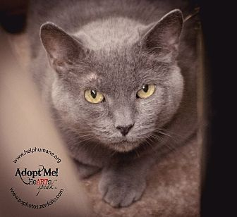 Domestic Shorthair Cat for adoption in Belton, Missouri - Joney