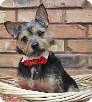 Yorkie, Yorkshire Terrier Mix Dog for adoption in Benbrook, Texas - Moose