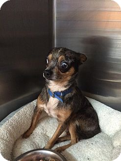 Chihuahua Mix Dog for adoption in New Orleans, Louisiana - Bacardi