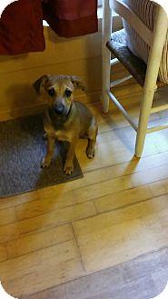 Shepherd (Unknown Type)/Labrador Retriever Mix Puppy for adoption in East Hartford, Connecticut - Bishop meet me 9/16