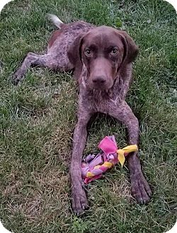 German Shorthaired Pointer Dog for adoption in Livonia, Michigan - Seymour-ADOPTED