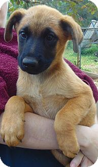 German Shepherd Dog Mix Puppy for adoption in Olympia, Washington - Kiwi